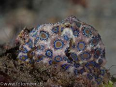 Blauringoctopus