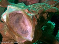 Grossmaul - Anglerfisch beim Gähnen