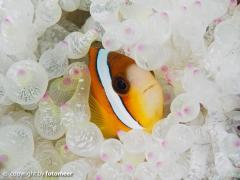 Schwarzflossenanemonenfisch in Blasenanemone