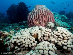 Blasenkorallen im Riff