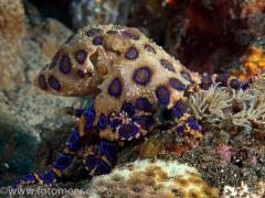 tödliche Schönheit - Blueringoctopus
