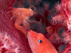 red buddies in a red home (winzige Bewohner einer Weichkoralle)