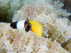 Anemonenfisch in Glasperlenanemone