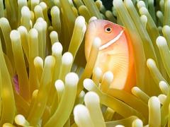 Halsbandanemonenfisch