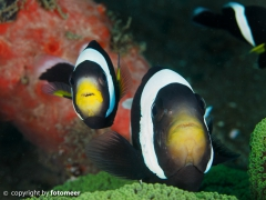 Clarks Anemonenfische