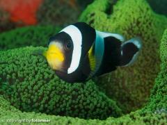 Wächter - Clarks Anemonenfisch