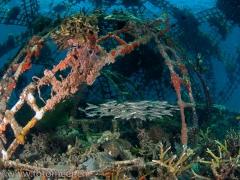 Korallenwelse im Biorock
