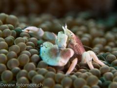 junge Porzellankrabbe (ca.  1 cm)