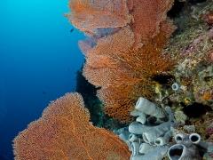 Korallenfächer im Hausriff