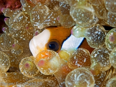 Nemo in Blasenanemone