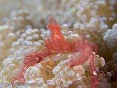 Orang-Utan Krabbe auf Froschlaichkoralle