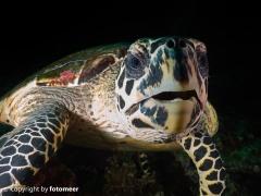 Karettschildkröte
