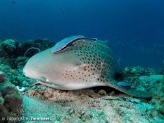 Leopardenhai mit Schiffshalter 2
