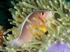 Weissrückenanemonenfisch