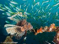 Rotfeuerfisch umschwärmt