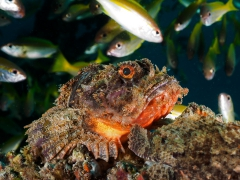 der Wächter (Skorpionfisch)
