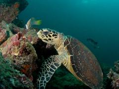 Karettschildkröte beim Korallensnack