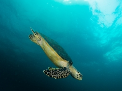 Schildkröte beim Abtauchen