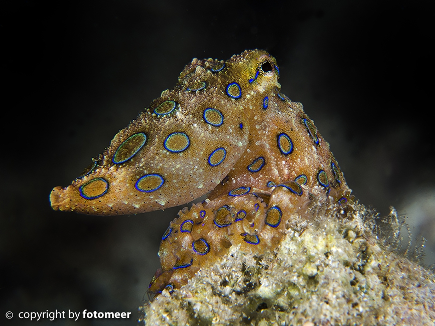 Blueringoctopus