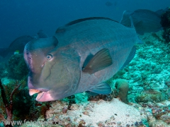 riesiger Büffelkopfpapageienfisch