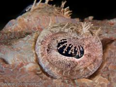 Auge des Krokodilfisches