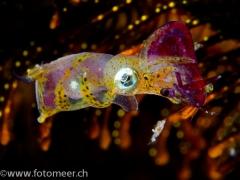 Zwergsepia (6 mm) frisst Shrimp