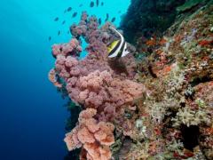 Weichkorallen und Wimpelfisch