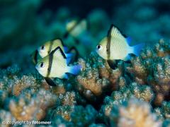 Preussenfische