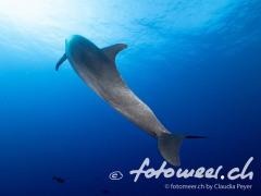 Delfin - der Sonne entgegen