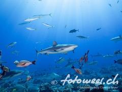 Haie vor Tahiti