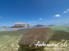 Ammenhai in der Lagune von Fakrava