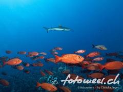Grossaugenbarsche und Hai
