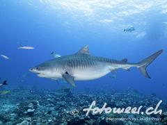 schwangere Tigerhai-Lady
