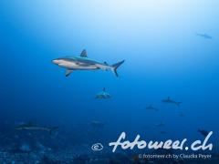 Famoser Tauchplatz: Wall of sharks im Süden von Fakarava