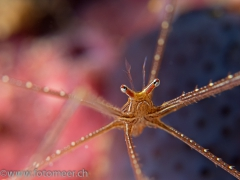 Spinnenkrabbe