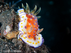 Chromodoris collingwoodi