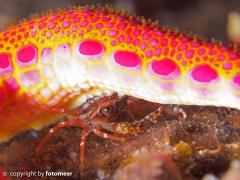 Krabbe versteckt unter einem Seestern