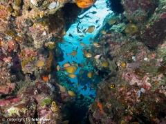 Beilbauchfische