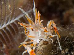 Rigershrimp
