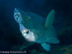 Büffelkopfpapageienfisch