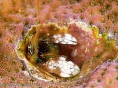 Koralleneinsiedler