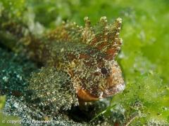 kleiner Skorpionfisch
