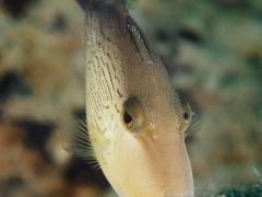 Feilenfisch