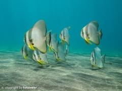 Fledermausfische im Flachwasser