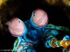 Augen eines Mantishrimp