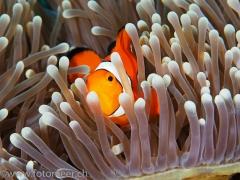 westlicher Clownfisch in Prachtanemone