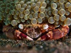 Porzellankrabbe unter Anemone