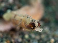 Zwergpfeifenfisch