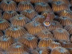 Baby-Dreiflosser auf Steinkoralle