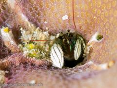 Koralleneinsiedlerkrebs